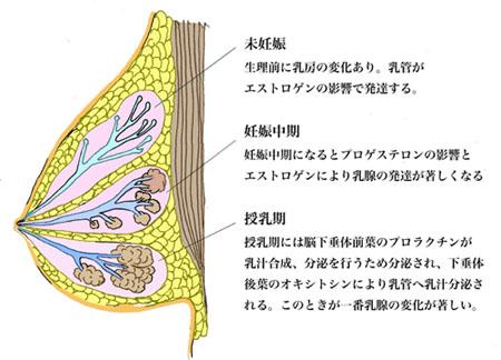 1.乳房の構造